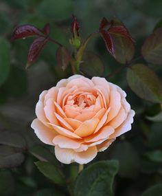 English rose 'Tamora'