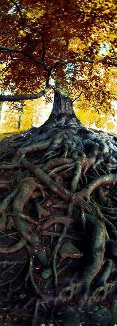 Impressionando árvore muito velha da floresta tcheca.  Fotografia: Jiri Vaclavek via Shutterstock.: