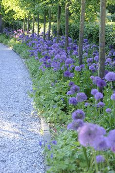 Light blue Alium planted with lady's mantle? ground cover under raised trees edge a grey gravel path