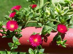 Aptenia 'Red Apple' (Baby Sun Rose) is often confused with Aptenia cordifolia. It is a hybrid with more vigorous growth and an ability to. Apple Plant, Ice Plant, Rose Plant Care, Rose Care, Cacti And Succulents, Planting Succulents, Drought Resistant Plants, Planting Roses, Succulent Plants