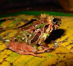 Species of rain frog potentially new to science.