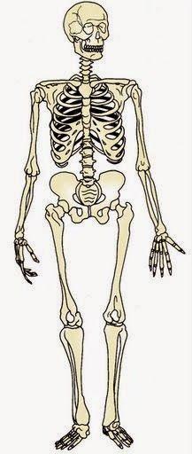 Maestra De Primaria El Cuerpo Humano Esqueletos Para Montar Dibujo Del Esqueleto Humano Cuerpo Humano Para Ninos Cuerpo Humano