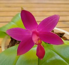 Phalaenopsis violacea ' purple '