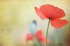 Red Poppy Print - Fine Art Photography, red flowers, red, gold, sage green, home decor, wall art, poppies, wildflower, nature, resort decor