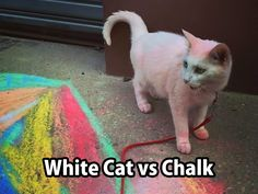 white cat vs chalk
