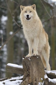 Arctic Wolf (Canis lupus arctos) a Subspecies of the Gray Wolf, Canada, Alaska and Greenland