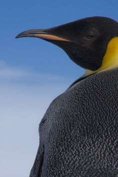 Emperor Penguins: tallest & heaviest of all penguin species.Their tongue is equipped with rear-facing barbs to prevent prey from escaping when caught, colony size-ten to several hundred birds. The male and female are similar in size.The adult has deep black dorsal feathers, covering the head, chin, throat, back, dorsal part of the flippers, and tail.The average yearly survival rate 95.1%, average life expectancy of 19.9 years and can hold its breath anywhere up to 20 minutes.