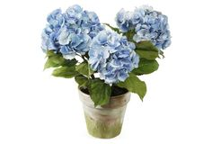 blue hydrangeas in aged clay pot