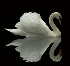 Swan Lake? Via Akansha