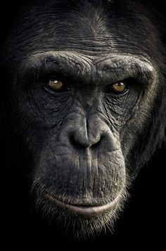 CHIMPANZEE SANCTUARY by Gabi Guiard, via Behance
