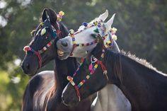 #Marwari #Horses