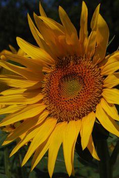Sunflower Fields [PERIGORD, FRANCE]
