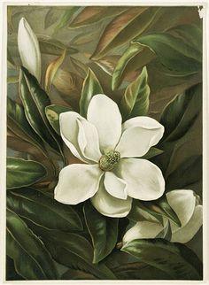 Magnolia Grandiflora by Laird, Alicia H.