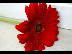 red flowers - red flowers images - red flowers pictures