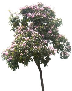 [Lagerstromia01L.png]