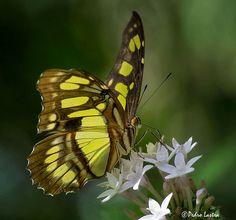 Malachite Butterfly feeding on Pentas lanceolata, Fairchild Tropical Botanic Garden.