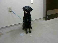 *SALTY - ID#A700750    Shelter staff named me SALTY.    I am a female, black Labrador Retriever.    The shelter staff think I am about 1 year old.    I have been at the shelter since Feb 22, 2013.