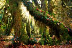 Hoh Grove by Inge Johnsson. The northernmost rainforest in America, Hoh Rainforest in Olympic National Park (Washington state), is a wonderland of mossy trees in an enchanted forestland in western Washington state.