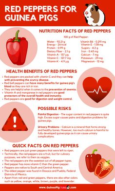 Guinea Pig Food, Pet Guinea Pigs, Guinea Pig Care, Pig Facts, Food Facts, Red Pepper Benefits, Guinea Pig Costumes, Pigs Eating, Degu