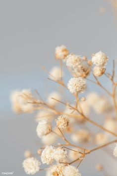 Flower Aesthetic, White Aesthetic, Self Photography, Amazing Photography, Aesthetic Backgrounds, Aesthetic Wallpapers, Gypsophila Flower, Babys Breath Flowers, Macro Shots