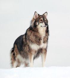 Este cachorro simplesmente inspira respeito e medo. Combina nas suas veias o sangue do husky siberiano, o malamute-do-alaska e o pastor alemão.