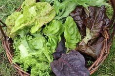 leafy lettuce!