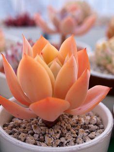 Echeveria cv. (Echeveria pallida x Echeveria colorata)