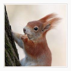 baum Eichhörnchen Eichhörnchenportrait Nuss Tier Wald