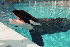 Orca Tilikum from documentary Blackfish deceased Keiko Orca, Tilikum Orca, Animal Rights Organizations, Dolphin Family, Baleen Whales, Seaworld Orlando, Marine Aquarium, Killer Whales, Underwater World