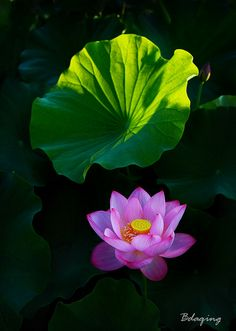 The Lotus is by far my favorite flower, although I find beauty in everything. It was hard to pick a favorite.