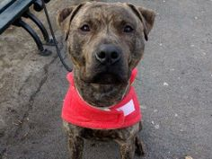 TO BE DESTROYED FRI - 1/3/14 Manhattan Center BLITZEN  A0988149 Male br brindle and brown pit mix 2 YRS  Quiet in his kennel, leashed easily for a walk.  Likely housetrained. He pulls slightly on the leash and jumps up on it wanting to play tug of war. He'll need some positive training to break him of this habit.  Blitzen will do well in an active home as he'll enjoy long walks, a hike and other physical activity. Since he's also a cuddler, a convenient empty lap will be a plus!