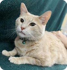 Blackwood, NJ - Domestic Shorthair. Meet Spike, a cat for adoption. http://www.adoptapet.com/pet/13919234-blackwood-new-jersey-cat