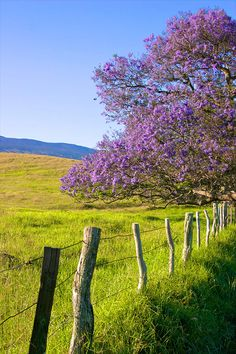 Jacaranda Tree, Maui, Hawaii (and you thought they only grow in Argentina!)