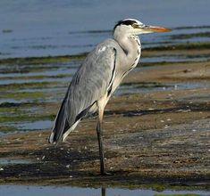 Ardea cinerea, Grey Heron, identification guide Grey Heron, Predator, Habitats, Sketching, Birds, Models, Friends, Artwork, Pictures