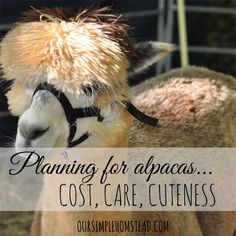 Raising Alpacas – How much does it cost? Planning for Alpacas – After months of researching and planning for alpacas it is getting close for us to add a few to Our Simple Homestead. Homestead Farm, Homestead Survival, Homestead Living, Farm Animals, Cute Animals, Alpaca My Bags, Raising Goats, Raising Chickens, Pekinese