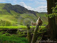 A protective ewe with lamb in the Antrim Hills,near Larne, Northern Ireland