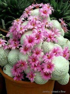 Mammillaria herrerae Pianta #cactusflowerplants
