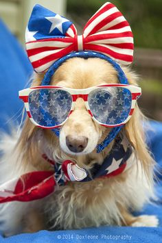 This patriotic pup is too cute! Dachshund Love, Daschund, Memorial Day, Love My Dog, Puppy Love, Cute Puppies, Cute Dogs, Dogs And Puppies, Funny Dogs