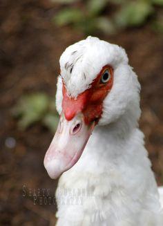 scary mumma duck