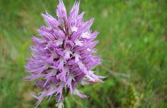 Orchis italica Orchidee selvatiche sul Regio Tratturo Pescasseroli Candela