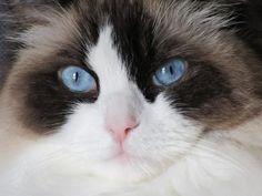 Ragdoll Cat Face Closeup Photo – BinXzay