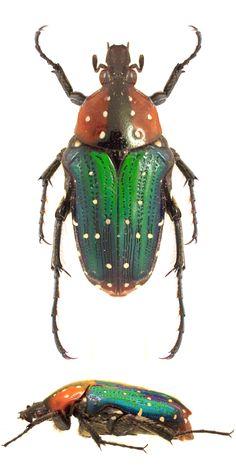 Leucocelis similis