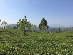 Ceylon black tea. We love it