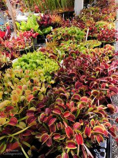 venus flytrap flowering | tumblr_mw20mnNtzs1sh0lo9o1_500.jpg