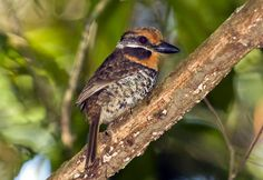 Spotted Puffbird (Nystactes tamatia), South America