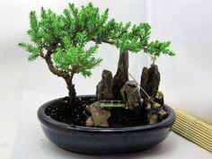 9GreenBox - BONSAI Juniper Tree Zen Garden With Pool Fishman by 9GreenBox, http://www.amazon.ca/dp/B001OZ5FPA/ref=cm_sw_r_pi_dp_KpVjtb0MKGCFQ