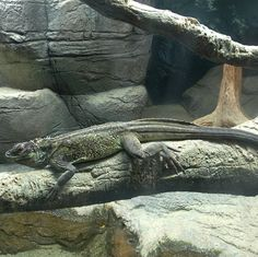 This is a Weber's Sailfin Lizard courtesy of Opencage Systems http://www.opencage.info