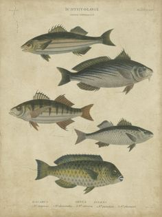 Ichthyology III Prints by Abraham Rees at AllPosters.com