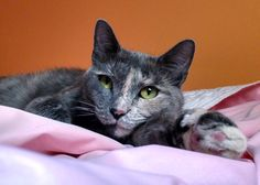ercury is only 1 1/2 years old.  She's spayed, up to date on her vaccinations, micro-chipped, has tested negative for FIV and FeLV, and gets along with other non-aggressive cats.  Won't you consider giving this sweetheart the forever home she so deserves?