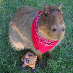 Have wanted a pet capybara forever! Nature Animals, Animals And Pets, Cute Animals, Beautiful Cats, Animals Beautiful, Baby Guinea Pigs, Quokka, Best Funny Images, Rodents
